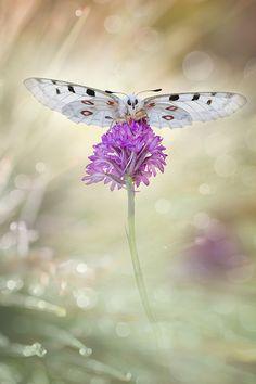 ~~Parnassius apollo Butterfly by Carlos Barriuso~~