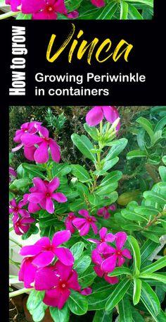 How to Grow Vinca | Growing Periwinkle in pots | Periwinkle