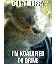 Funny pictures about Chauffeur Koala. Oh, and cool pics about Chauffeur Koala. Also, Chauffeur Koala. Funny Animal Jokes, Cute Funny Animals, Funny Animal Pictures, Funny Cute, Funny Koala, Koala Meme, Animal Puns, Animal Humor, Funny Photos