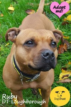 Ruby at Dogs Trust Loughborough is a stunning lady with a bold but loving nature, she adores people and can never seem to have enough time with any of her carers. Her most favourite past time has to be snuggling up with you on the sofa for cuddles. This a