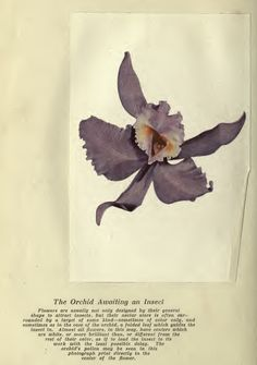 Luther Burbank Orchid