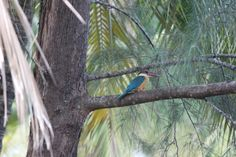 Stork billed Kingfisher #birds #Bekal #India