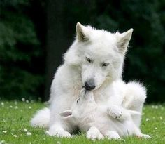.Mother wolf and cub