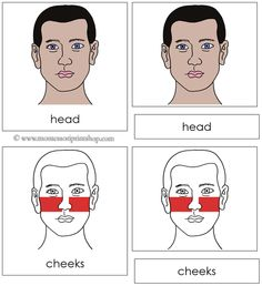 Head Nomenclature Cards (Red) - 15 parts of the head in 3-Part Cards, includes Black-Line Master.
