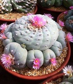 10 White Pink Flower Cactus Seeds Mixed Rare Succulents Stone Flower Desert #BALL