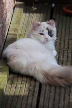 Claire is a gorgeous seal tortiepoint bicolor ragdoll kitten. 7 months old.