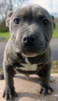 Amazing blue pitbull puppy for sale. Cute Dogs And Puppies, I Love Dogs, Doggies, Beautiful Dogs, Animals Beautiful, Dog Pictures, Animal Pictures, Cute Little Animals, Pitbull Terrier