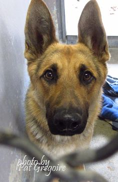 A4828366 My name is Ranger. I am a very friendly 8 month old neutered male black/brown German Shepherd. My owner left me here on May 9. available 5/20/15 Baldwin Park shelter Open for Adoptions 7 days a Week 4275 Elton Street, Baldwin Park, California https://www.facebook.com/photo.php?fbid=968793703132467&set=a.705235432821630&type=3&theater