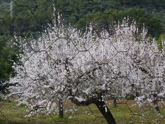 Mallorcas Fruehling – Kirschbluehte