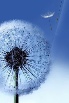 ↑↑TAP AND GET THE FREE APP! Nature Flying Dandelion Blue Melancholy Wind Unicolor Simple HD iPhone 4 Wallpaper