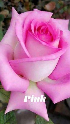 Suberb Pink