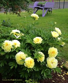 Peony 'Bartzella', I need one of these, don't have any yellow ones!
