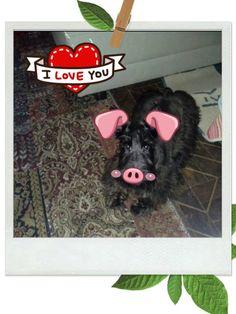 Amora porquinho