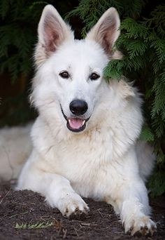 White Husky, White Pomeranian, White Dogs, White Swiss Shepherd, German Shepherd Dogs, Beautiful Dogs, Cute Baby Animals, Dog Pictures, Doggies