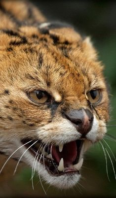 Serval - Angry Kitty by Ania Jones African Serval Cat, Serval Cats, Most Beautiful Cat Breeds, Beautiful Cats, Animals Beautiful, Small Wild Cats, Small Cat, Jaguar, Warrior Cats