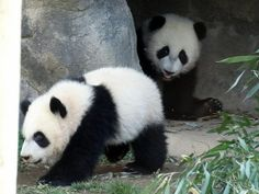 Mei Lun & Mei Huan, 3/20/14 by saulesmeit, via Flickr