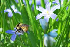 SPRING, bumblebees and chionodoxa Jrr Tolkien, Wander, Bee, Spaces, Spring, Plants, Animals, Honey Bees, Animales