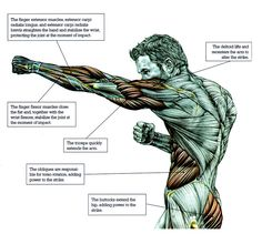Anatomy & Physiology of Martial Arts Muscle Anatomy, Body Anatomy, Anatomy Study, Anatomy Art, Anatomy Reference, Human Anatomy, Drawing Reference, 7 Workout, Boxing Workout