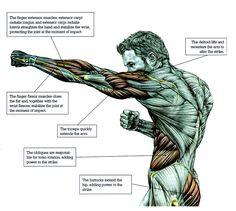 Anatomy & Physiology of Martial Arts Muscle Anatomy, Body Anatomy, Human Anatomy, 7 Workout, Boxing Workout, Workout Motivation, Anatomy Sketches, Anatomy Drawing, Anatomy Study