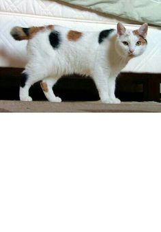 bobtail catjapanese