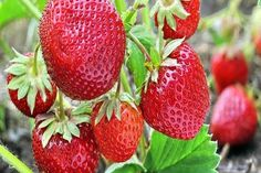 Growing strawberries is great way to add lasting flavor to your landscape. Here are our top tips and hints to growing your own delicious crop! Sustainable Farming, Organic Farming, Organic Gardening, Strawberry Varieties, Strawberry Plants, Grow Strawberries, Strawberry Patch, Strawberry Jam, Strawberry Fields
