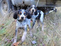 Sugar and Sister on their first hunt together in Oct 2014.