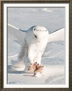 USA, Minnesota, Vermillion. Snowy Owl Catching Prey Photographic Print by Bernard Friel at Art.com