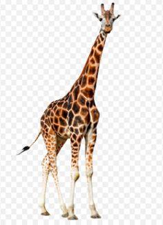 Ontdekkingsreis en inspiratie - Mindfulness in het onderwijs Giraffe, Mindfulness, Animals, Felt Giraffe, Animales, Animaux, Giraffes, Animal, Animais