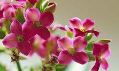 Kalanchoe, la planta del mes de abril
