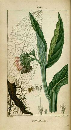 img/dessins-gravures de plantes medicinales/consoude.jpg