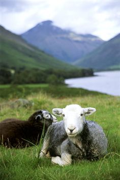 Close view of two Herdwick sheep lying down at Wastwater in the Lake District, with Yew Barrow in the distance