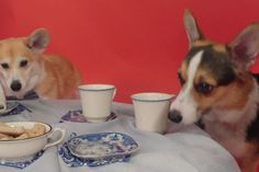 It's a Royal Corgi Tea Party! | WOOFipedia by The American Kennel Club