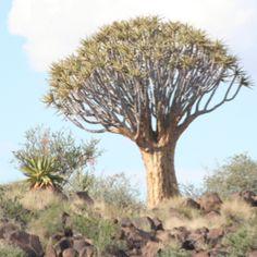 Kokertree, Namibia
