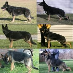 Marcato American Showline Gsds.... Showing how much the stack can change the appearance.  Most of the American showlines are actually square dogs... Its the stack that makes them look different