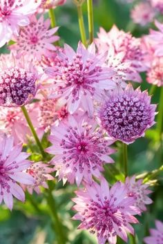 Astrantia major rosea is a herbaceous perennial that flowers in midsummer but produces a later flush if deadheaded. After flowering plants can be rejuvenated by cutting them back close to the ground - fresh new foliage and a late crop of flowers start app Amazing Flowers, Pink Flowers, Beautiful Flowers, Bright Flowers, Beautiful Gorgeous, Paper Flowers, Pink Garden, Dream Garden, Astrantia Major