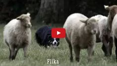 Check out this great Border Collie herding video that was shot in Pas De Calais, France on May 19, 2016. In this video, you trully get to see what it's like to have a working dog on a farm! We also love the dramatic music that really gives this video an exciting tone and edge!