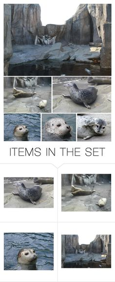 """Next He Went to the Harbor Seal Habitat…Harbor Seals Are Active, Playful & Curious, Although Sometimes Shy"" by maggie-johnston ❤ liked on Polyvore featuring art"