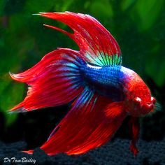 The betta, also known as the siamese fighting fish, has become a popular fish…
