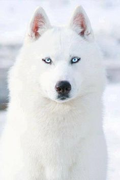 Adorable dog/puppy with snow white fur and ice blue eyes...