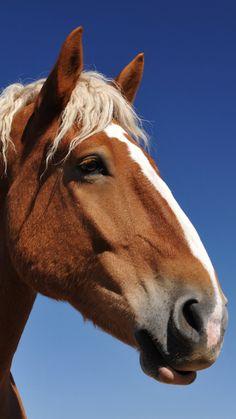 Belgian Portrait - Draft Horse
