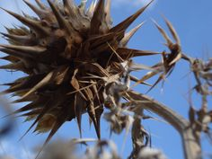thistles, dried head, O'Halloran Hill south  australia