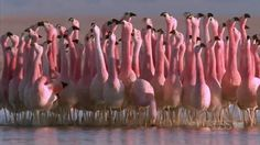 Andean flamingo mating dance | NATURE | Andes  Looks like the background dancers in a big ballet production