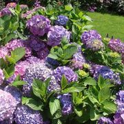 Planting Tips for a Hydrangea Bush | eHow