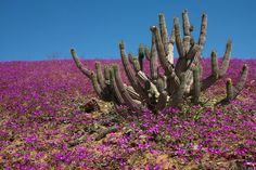 Large cactus surrounded by pink flowers in the Atacama Desert.
