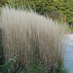 Calamagrostis x acutiflora 'Karl Foerster' | Feather Reed Grass | A clump-forming cool season grass that is one of the first to begin growing in the spring, around the time spring-blooming bulbs appear. Makes a beautiful vertical accent in the garden. Use around water features, by streams or in mass groupings. Yellow blooms 5-6'. Chosen plant of the year by the Perennial Plant Association in 2001. Calamagrostis a. 'Stricta' is a (old) synonym for Calamagrostis a. 'Karl Foerster' | Height…