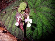 begonia sp. madagascar