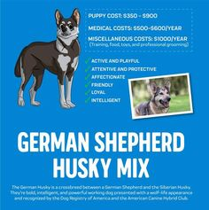 The Complete Guide on the German Shepherd Husky Mix Guide | Innovet Pet German Husky Mix, German Shepherd Husky, Husky Mix German Shepherd, Gerberian Shepsky, Easy Pets, Good Traits, Love Pet, Working Dogs, Dog Owners