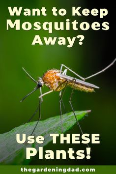 Do you Want to Keep Mosquitoes away from your garden and you?  Then Use THESE Plants to learn easy and effective ways to keep mosquitoes away! #mosquitoes #howto #diy Plant Pests, Garden Pests, Gardening For Beginners, Gardening Tips, Growing Flowers, Planting Flowers, Natural Mosquito Repellent Plants, Keeping Mosquitos Away, Natural Pesticides