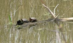 Pelee Island 2007, turtles