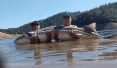 Two anglers rescue 'monster' sturgeon in Lake Shasta they said measured 86 inches long. Giant Fish, Big Fish, Lake Sturgeon, Lake Shasta, River Monsters, Fish Tales, Big Lake, Types Of Animals, Monster S